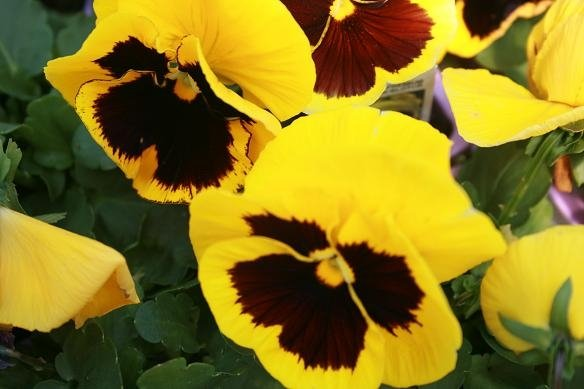 pansy-tight-shot-1
