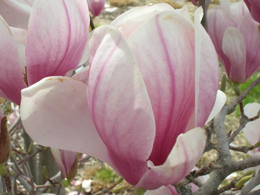 magnolias-pink-and-white