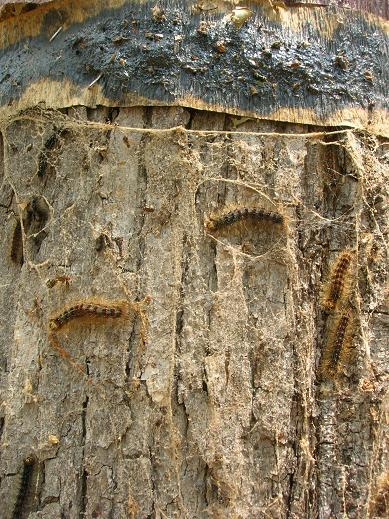 Gypsy Moth Caterpillars