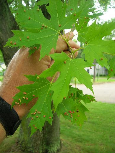Maple Leaf Gall