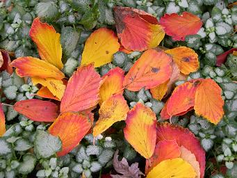 Witch Hazel leaves in a bed of Lamium groundcover