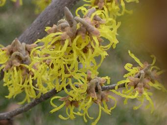 Spring flowers on Witch Hazel