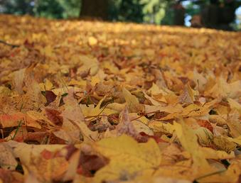 Maple leaves on lawn