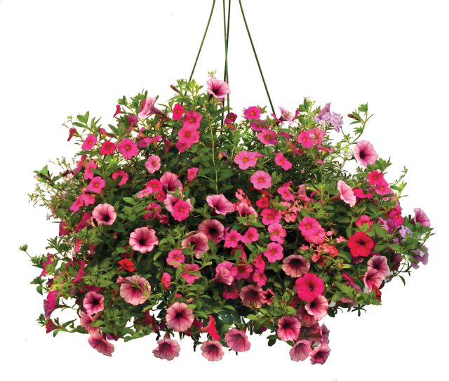 flowering annuals thank you very mulch. Black Bedroom Furniture Sets. Home Design Ideas