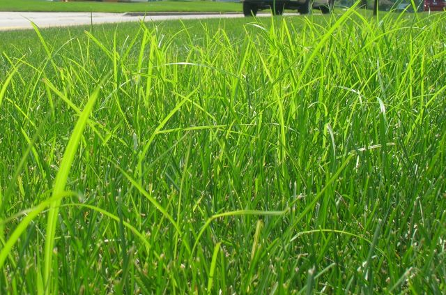 What does nutgrass look like