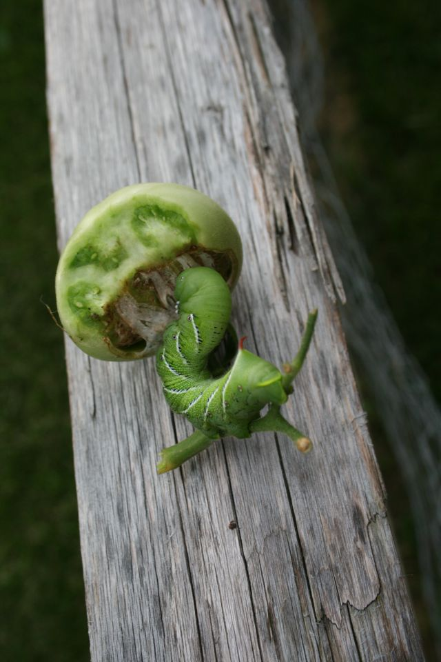 Attack Of The Tomato Hornworm Thank You Very Mulch