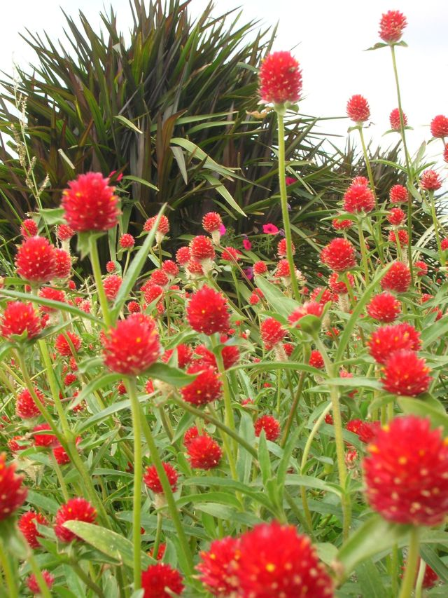 Gomphrena with Prince Pennisetum in background