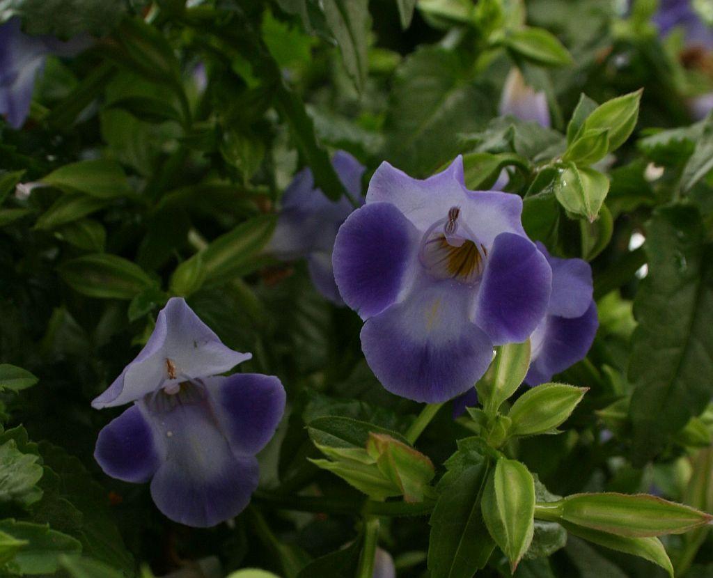 Торения цветы выращивание и уход 63