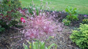 "The ""Alliums"" have landed in my yard!"