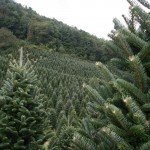 Fraser Fir growing on Christmas tree hill