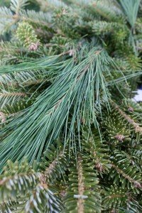 "Evergreen boughs make ""scents"""