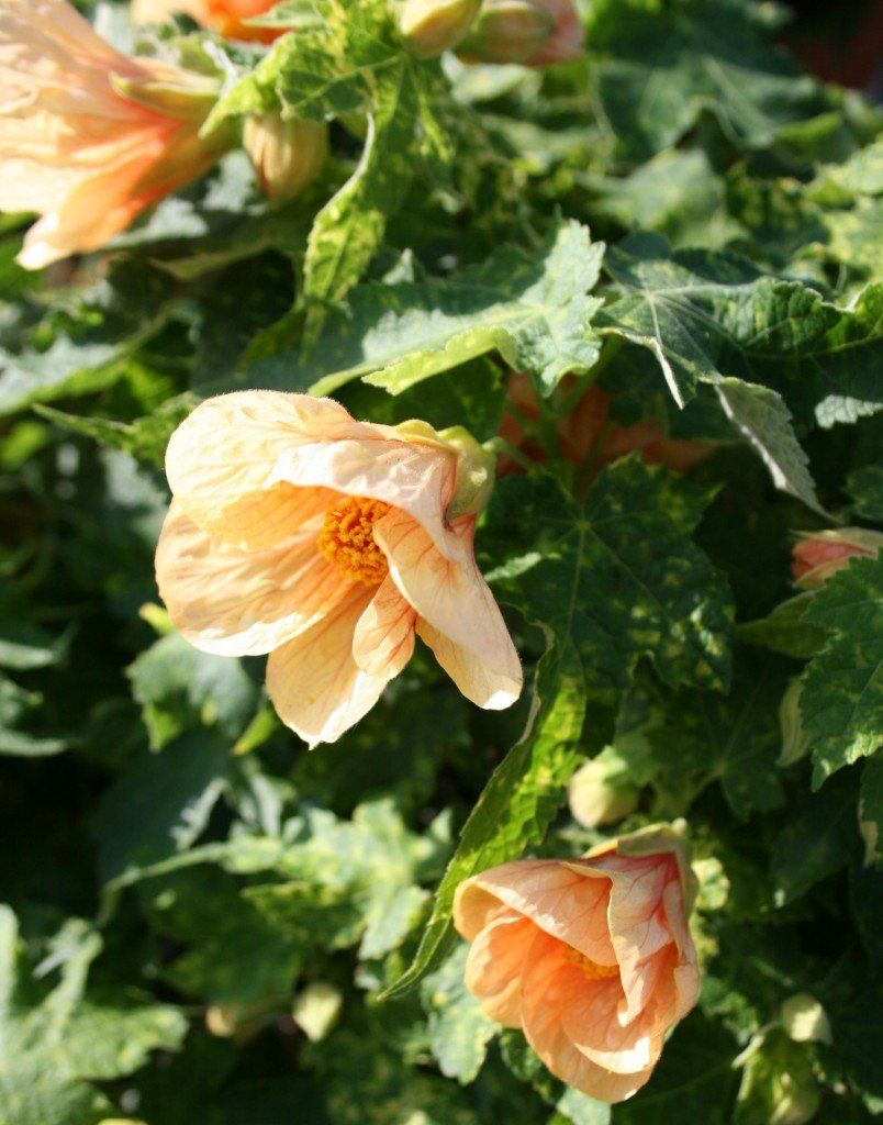 Flowering Maple or Parlor Maple (Abutilon)