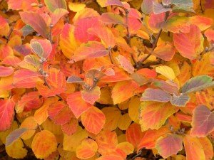 The beautiful fall color of Fothergilla