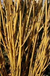 Gold twig Dogwood