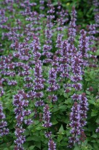 Agastache in bloom....attracts Hummingbirds, Butterflies, Bees and Sphinx Moths in August