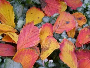 Witch Hazel leaves laying in a bed of Lamium groundcover