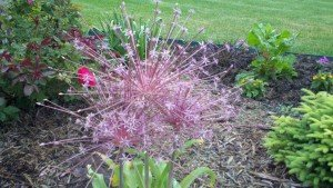 Allium....plant them in fall for a show in June!