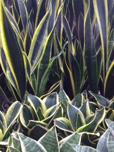 Foliage plants like these Sanseveria (pictured) are a welcome and healthy addition to any home!