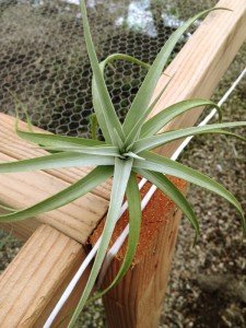 Tillandsias make good companions for office, kitchen, bathroom