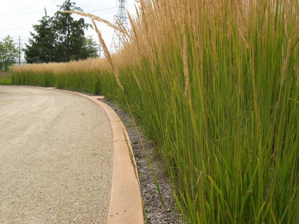 Cotton candy ornamental grass - Calamagrostis Karl Foerster Lines A Drive
