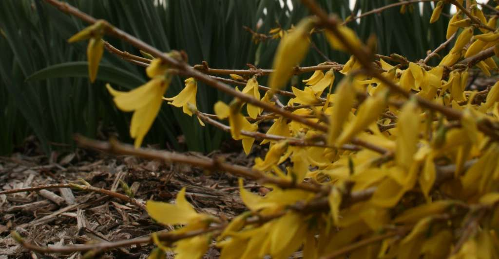 Weather forecast from a Forsythia?
