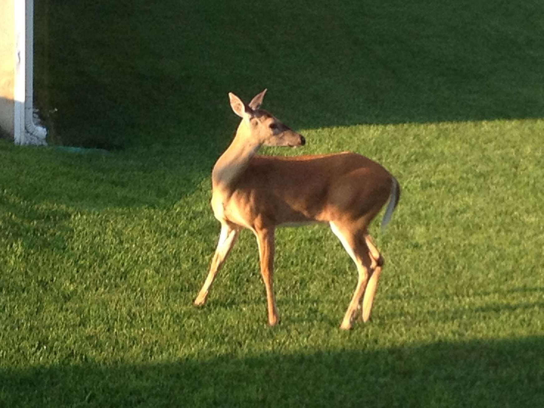 Multi-deer-mentional and Bambi-dextrous (not tonight deer)