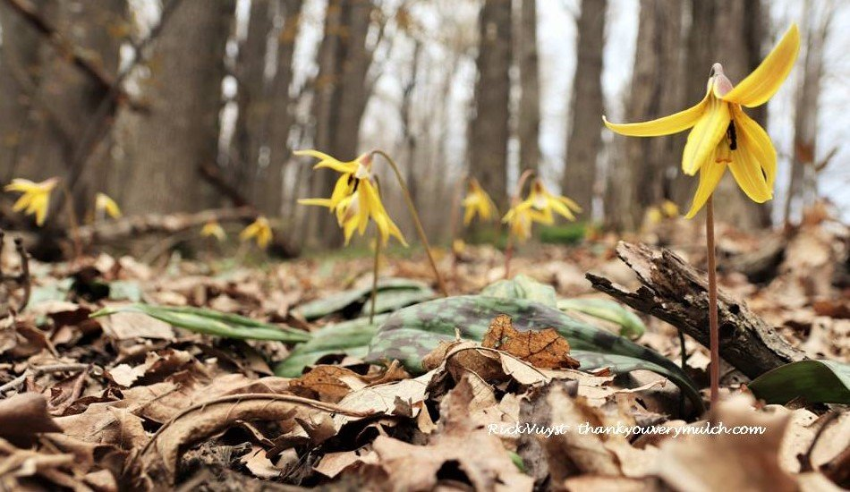 Late April Michigan Wildflowers