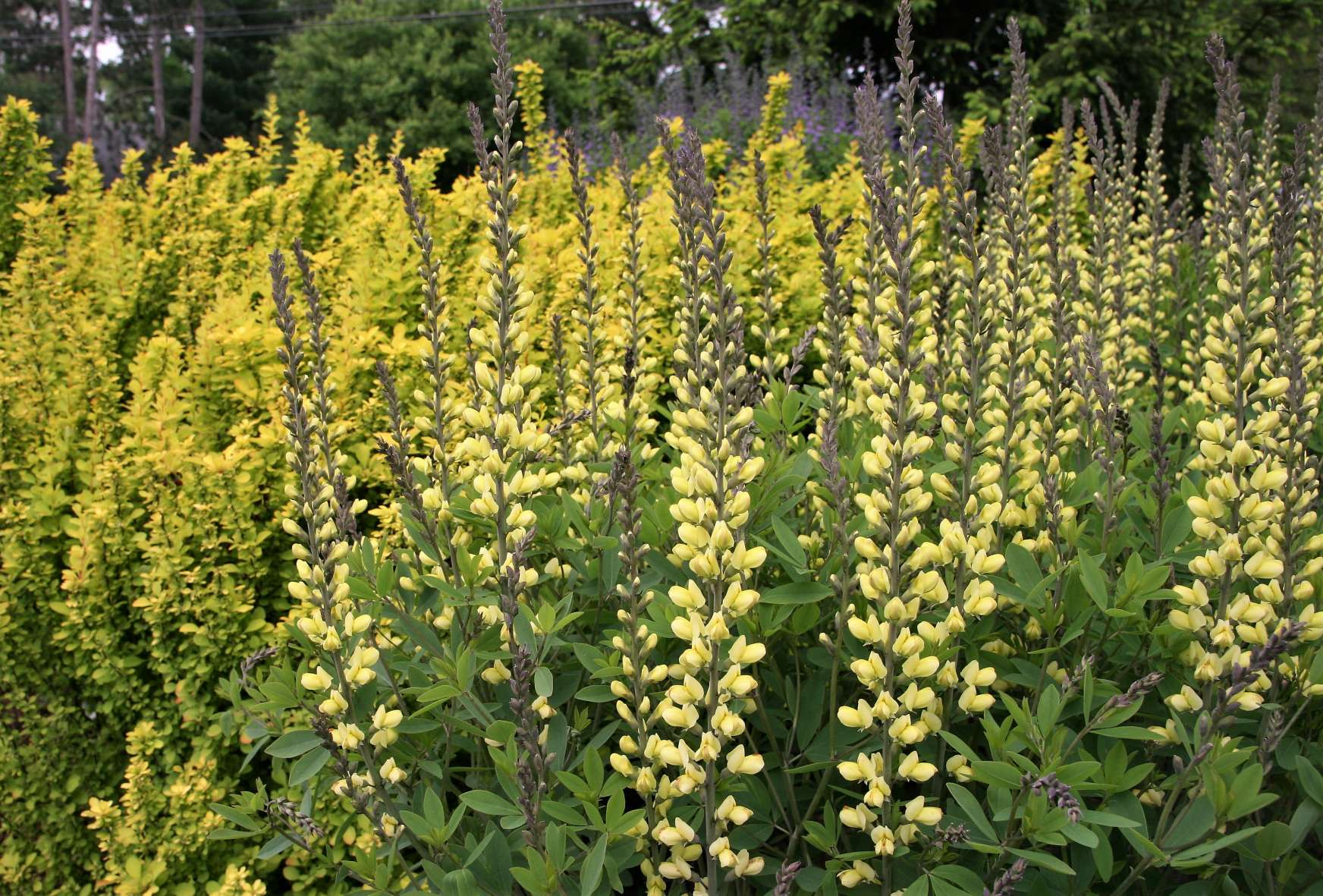 A plant with a rich history…Baptisia