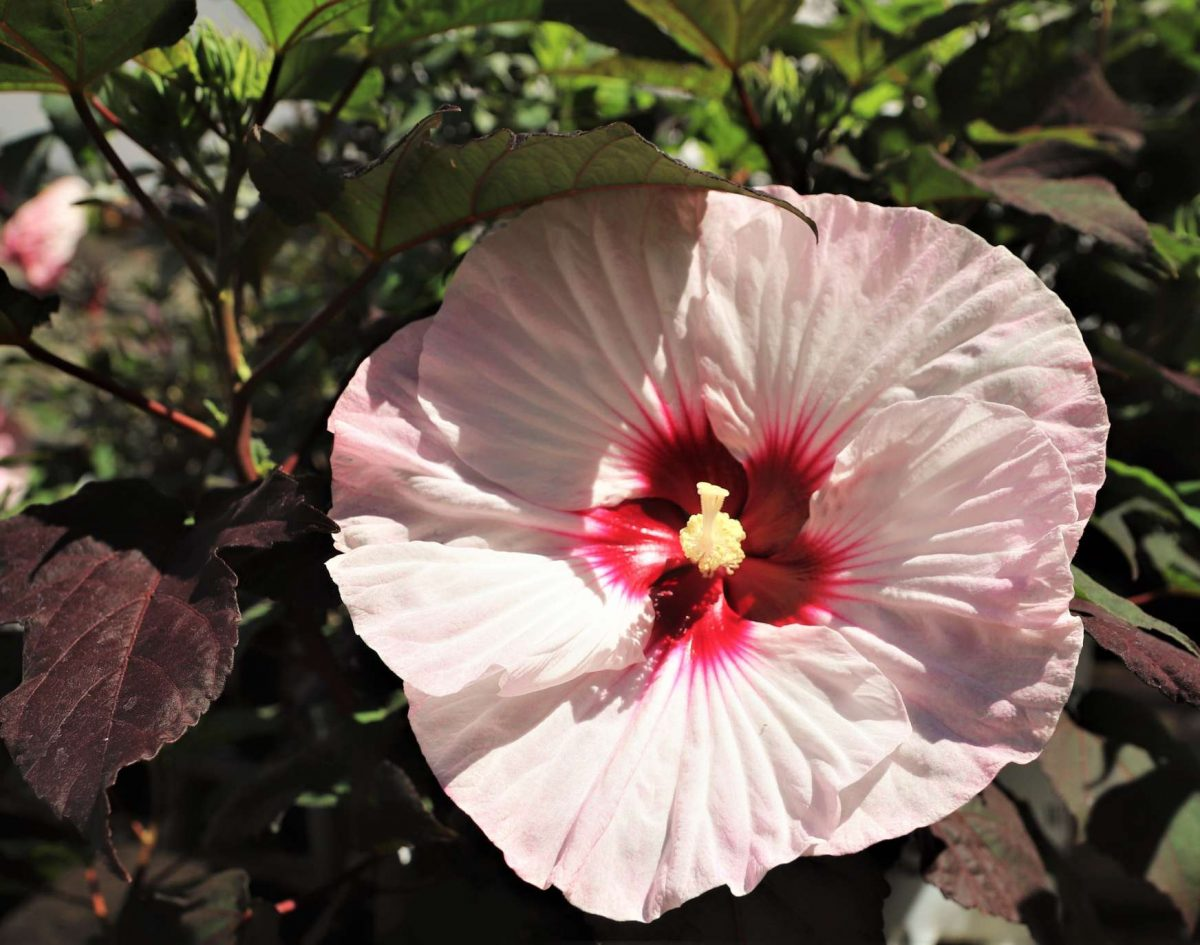 Is it a Hibiscus, a Rose of Sharon, a Mallow or an Althea?