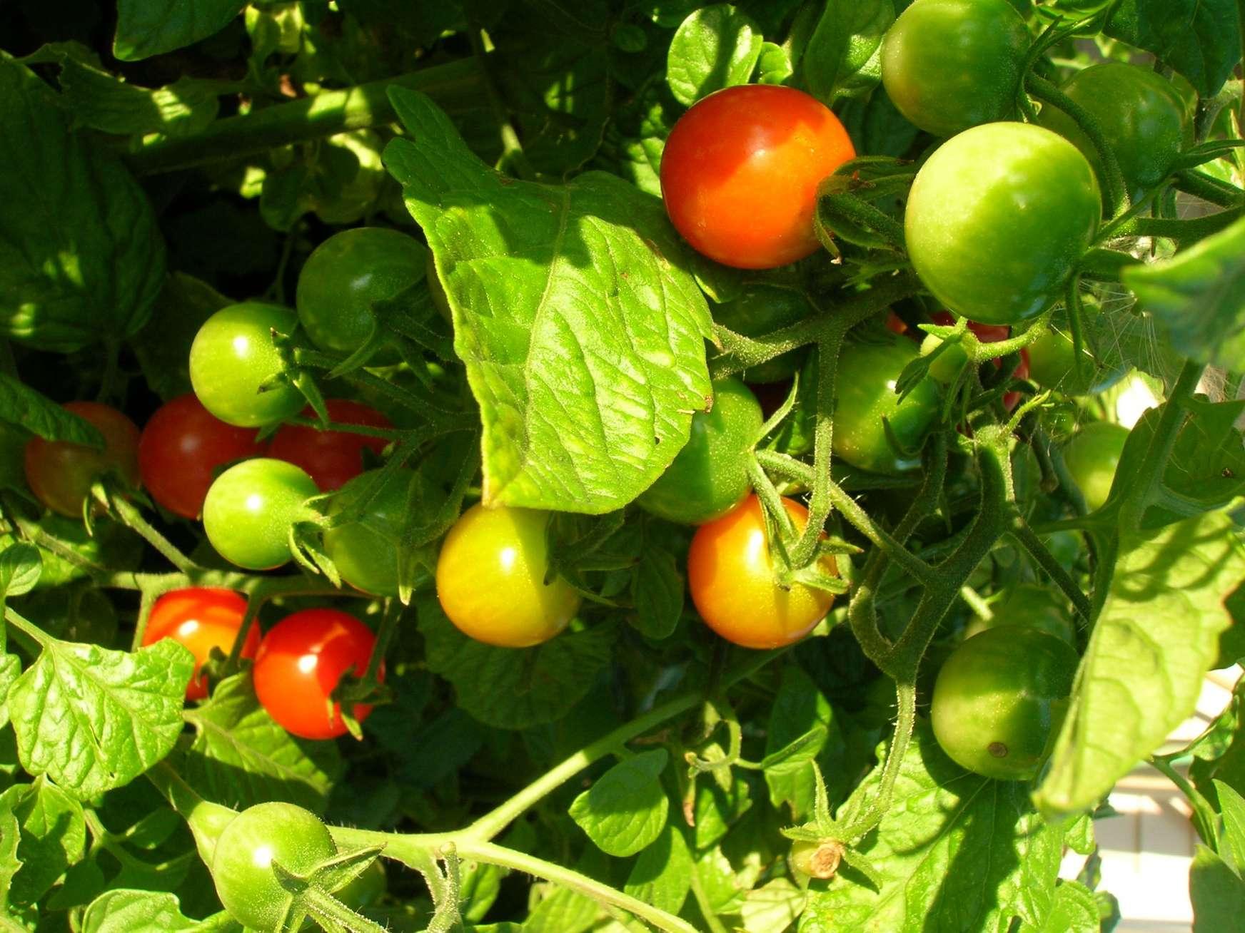 Those Tantalizing Tomatoes!