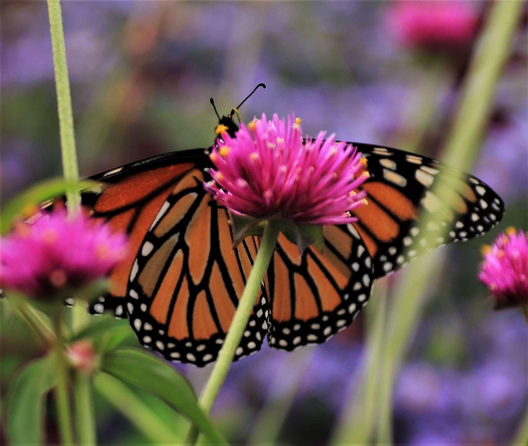 Monarch feasts on a Gomphrena