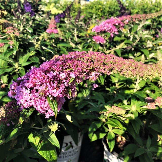 """Pugster Buddleia or """"Butterfly Bush"""""""